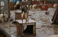 Sled dogs destoyed: Beaulieu case