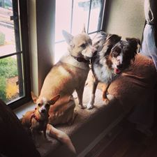 Pippin Evie and Willow rescues of Jeannine Colle Sonnier in Fort Collins CO
