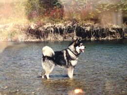 Sheila Munroe-Stone Hi Loki. My name is Mufasa. I'm a 16 year old Alaskan Malamute.