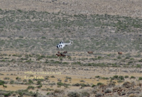 Stallion, mare and foal run from chopper through grazing cattle. Jackson Mountain, BLM ran foals in JUNE during the prohibited foaling season claiming drought.
